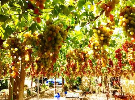 menanam buah & sayuran import